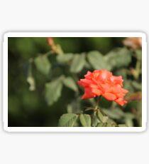 Orange Rose with blurred background Sticker