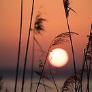 Sunset through the canes, Monte del Lago, Lago Trasimeno, Umbria, Italy by Andrew Jones