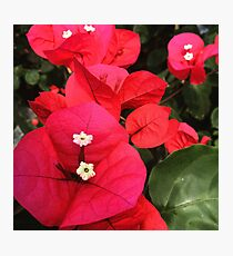 Bougainville  Photographic Print