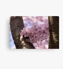Silver Bark and Pink Blossoms Canvas Print