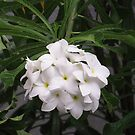 Cluster of white fangripani flowers by Deepthi  Horagoda