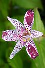 Purple spotted Lily by LoneAngel