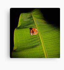 Tree Frog in Borneo Rainforest Canvas Print