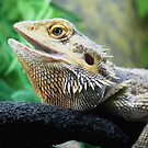 Bearded Dargon aka Lucy by davesphotographics