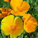 California Poppies - Eschscholzia californica  by Barrie Woodward