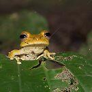 Convict Tree Frog, Parque Nacional del Manu, Peru by Erik Schlogl