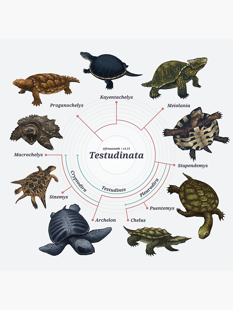 Testudinata: The Cladogram by franzanth