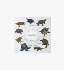 Testudinata: The Cladogram Art Board