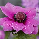 Anemone in the Pink by AnnDixon