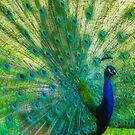 Peacock with Orton by Linda Sparks