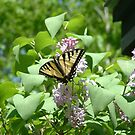 Swallowtail on a Lilac Bush by Wayne King
