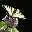 Swallowtail on a Lilac Flower by Wayne King