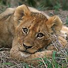 A young lion cub(This is the life!) by Anthony Goldman