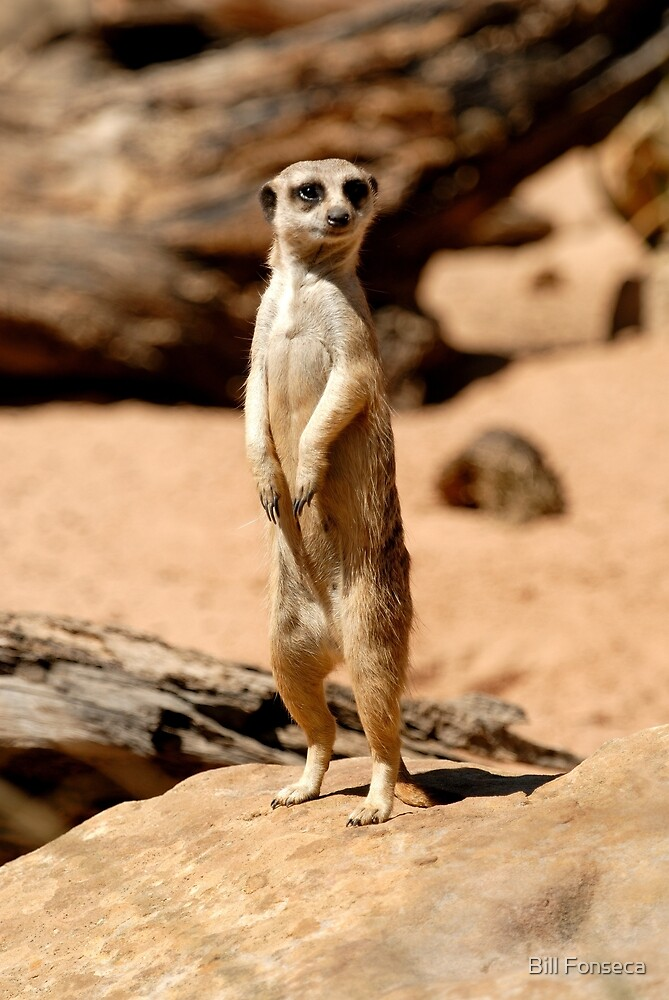 Meerkat at Taronga Zoo by Bill Fonseca