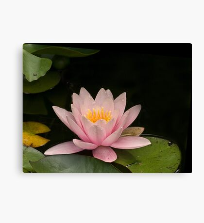 Lily in Pink Canvas Print