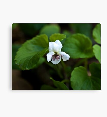 Sweet White Violet Canvas Print