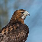 Red-Tailed Hawk by M S Photography/Art
