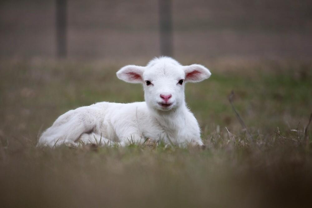 Lamb by Cara Merino