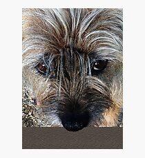 Border Terrier portrait Photographic Print