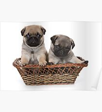 Funny cute pug puppies Poster
