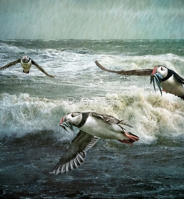 Puffins returning from the sea by Brian Tarr