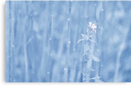 Last Bloom... by Laurie Minor