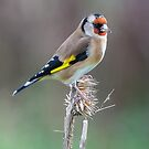 Goldfinch on Dead Teasel by MikeSquires