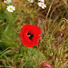 Alone poppy by loiteke