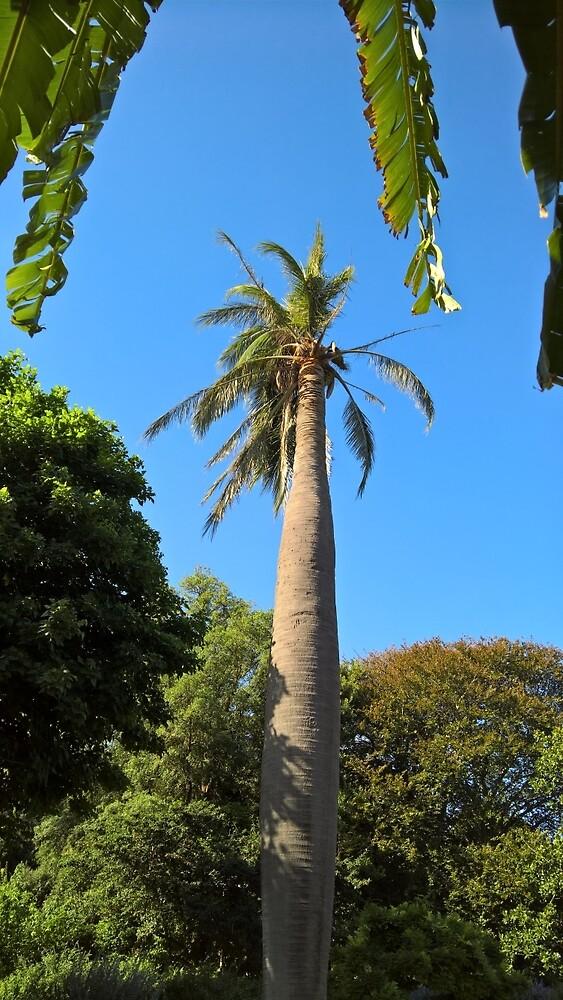 Chilean Wine Palm, Geelong Botanic Gardens. by thisisaustralia