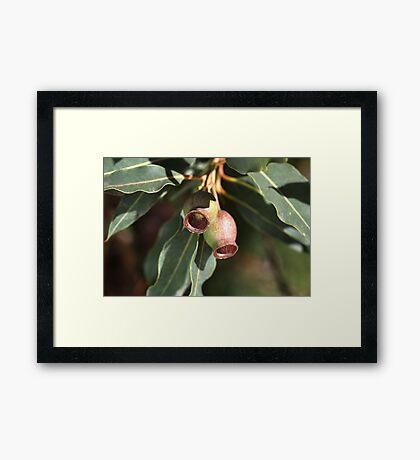 Gumnuts of Australia Framed Print
