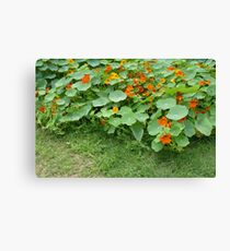 Nasturtium Patch Canvas Print