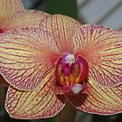 Orchid by Karen Checca