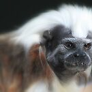 The cotton-top tamarin (Saguinus oedipus) by DutchLumix