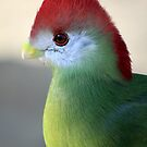 The red-crested turaco (Tauraco erythrolophus) by DutchLumix