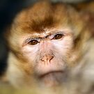 The Barbary macaque (Macaca sylvanus) by DutchLumix