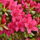 Hot Pink Springtime by Scott Mitchell