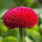 bellis perennis daisy in the garden by spetenfia