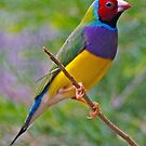 RED HEADED GOULDIAN FINCH by Raoul Madden