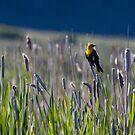 Yellow Headed Blackbird #2 by Ken McElroy