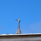 'UP PERESCOPE!'  a confused White Faced Heron on the roof!.  by Rita Blom