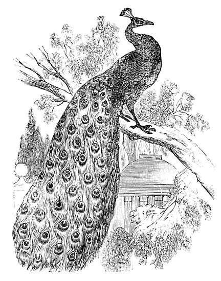 Vintage Peacock Bird Illustration Retro 1800s Black And White Image By SilverSpiral