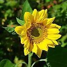 Sunflower by Scott Mitchell