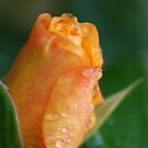 Yellow rose by julie08