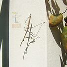 Praying Mantis Pointing Down by robertemerald