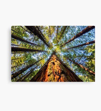 Redwood Heaven Reach Canvas Print