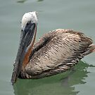 Pelican on the water featured in Florida The Sunshine State Group by Margaret  Shark