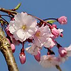 Weeping Cherry blossoms by ANNABEL   S. ALENTON