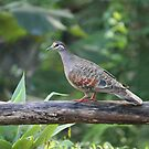 Bronzewing by aussiebushstick