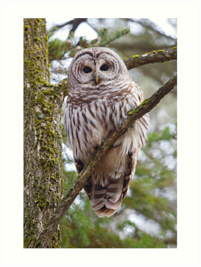 Who, Who, Who cooks for you? Barred Owl by Jim Cumming
