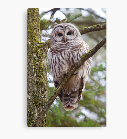Who, Who, Who cooks for you? Barred Owl Canvas Print